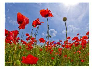 Field Of Poppies by Melanie Viola