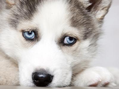 Close Up On Blue Eyes Of Cute Siberian Husky Puppy