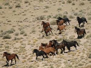 A Herd of Wild Horses Gallops Across the Dry Terrain by Melissa Farlow