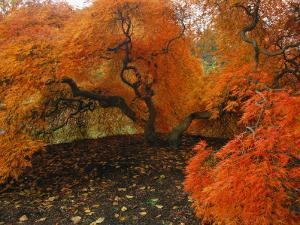 A Japanese Maple in Fall Foliage on the Grounds of the Biltmore by Melissa Farlow