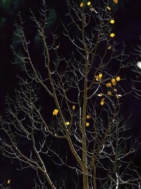 A Small Number of Leaves Still Cling to the Branches of an Aspen Tree by Melissa Farlow