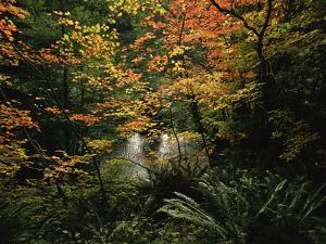 Autumn-Hued Vine Maples Along the Sol Duc River by Melissa Farlow