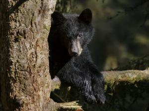 Black Bear on Tree Branch in Tongass National Forest by Melissa Farlow