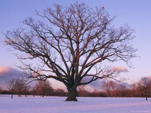 Lone Oak Tree in Delaware Park by Melissa Farlow