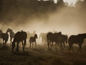 Protected Mustangs in the Morning Mist at the Wild Horse Sanctuary by Melissa Farlow