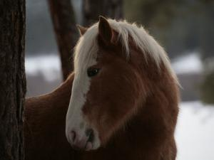 Wild Horse in the Snow Covered Ochoco National Forest by Melissa Farlow