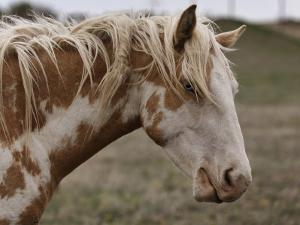Wild Mustang with a Blue Eye at a Wild Horse Conservation Center by Melissa Farlow