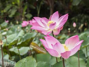 Pink lotus, Bali, Indonesia, Southeast Asia, Asia by Melissa Kuhnell