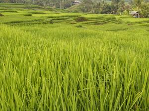 Rice paddies, Bali, Indonesia, Southeast Asia, Asia by Melissa Kuhnell