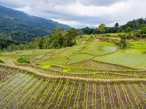 Rice paddies in Tana Toraja, Sulawesi, Indonesia, Southeast Asia, Asia by Melissa Kuhnell