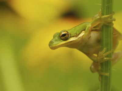 American Tree Frog in a Garden in Fuquay Varina, North Carolina