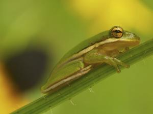 American Tree Frog in a Garden in Fuquay Varina, North Carolina by Melissa Southern