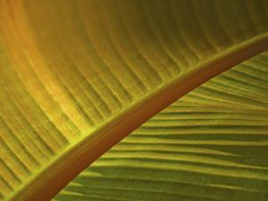 Detail of Banana Leaf at the North Carolina Zoological Park in Asheboro, North Carolina by Melissa Southern
