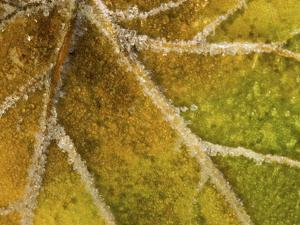 Detail of Frost on Leaf in Great Smoky Mountains National Park in North Carolina by Melissa Southern