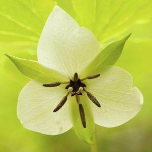Nodding Trillium in Great Smoky Mountains National Park, Tennessee by Melissa Southern