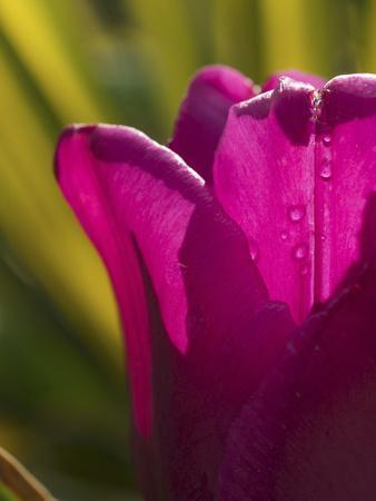 Tulip at Sarah P. Duke Gardens in Durham, North Carolina