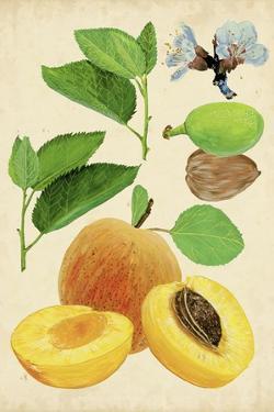 Apricot Study I by Melissa Wang