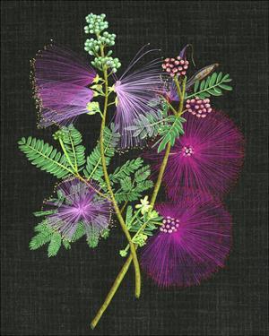 Calliandra Surinamensis I by Melissa Wang