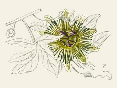 Passionflower IV