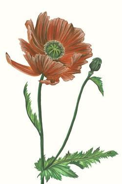 Poppy Flower III by Melissa Wang