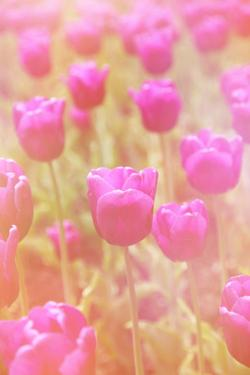 Beautiful Tulips by melking
