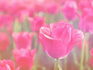 Pink Tulips by melking