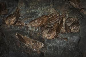 Oilbird (Steatornis Caripensis) Adults in Nesting - Roosting Cave Asa Wright Field Centre, Trinidad by Melvin Grey