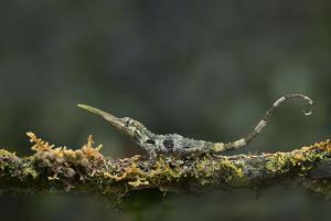 Pinocchio Lizard (Anolis Proboscis) Male, Mindo, Ecuador. Controlled Conditions by Melvin Grey