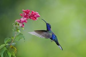Violet Sabrewing Hummingbird (Campylopterus Hemileucurus) Hummingbird Male Flying by Melvin Grey