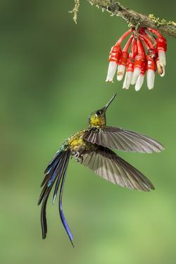 Violet-Tailed Sylph Hummingbird (Aglaiocercus Coelestis) Hummingbird Adult Male by Melvin Grey
