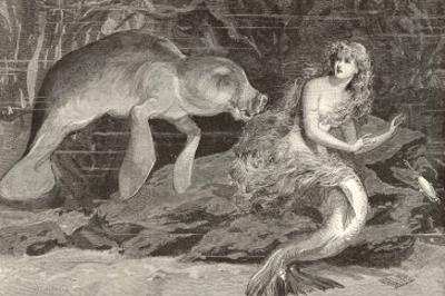 Mermaid Compared with the Manatee at the Zoological Gardens London