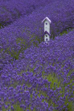 Farm Birdhouse with Rows of Lavender at Lavender Festival, Sequim, Washington, USA by Merrill Images