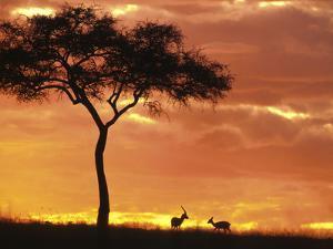 Gazelle Grazing Under Acacia Tree at Sunset, Maasai Mara, Kenya by Merrill Images