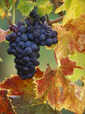 Grapes on a Vine by Merrill Images