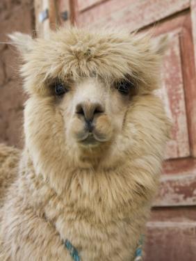 Llama, Cuzco, Peru by Merrill Images