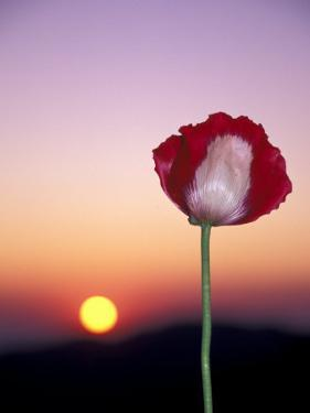 Opium Poppy at Sunset, Thailand by Merrill Images