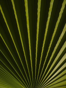 Usa, California, Joshua Tree. Traveler's Palm with black and green radial stripes. by Merrill Images
