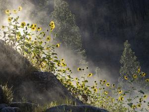 Usa, Idaho, Lowman. Wild sunflowers and steam rising from Pine Flats Hot Spring at dawn. by Merrill Images