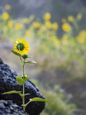 Usa, Idaho, Lowman. Wild sunflowers (Helianthus annuus). by Merrill Images