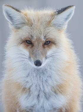 Usa, Montana, Big Sky. Ousel Falls, red fox./n by Merrill Images