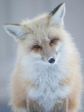 Usa, Montana, Big Sky. Ousel Falls, red fox. by Merrill Images