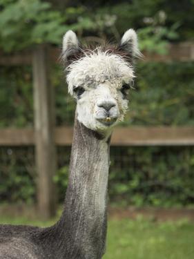 USA, Washington State, Duvall, baby alpaca at farm. by Merrill Images