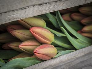 Usa, Washington State, Mt. Vernon. Cut red tulips in wood crate at Skagit Valley Tulip Festival by Merrill Images