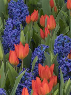 USA, Washington State, Mt. Vernon. Purple hyacinths and red tulips in display garden by Merrill Images