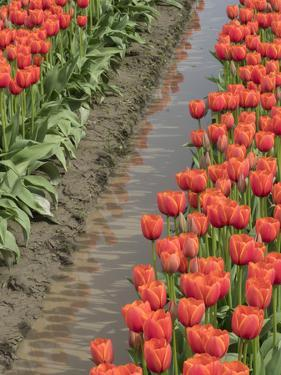USA, Washington State, Mt. Vernon. Row of red tulips and reflection in ditch by Merrill Images