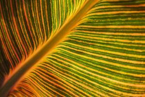 Usa, Washington State, Snohomish. Leaf with red, yellow, orange and green stripes. by Merrill Images