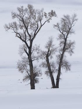 Usa, Wyoming, Yellowstone National Park. Lamar Valley, cottonwood trees in snow. by Merrill Images