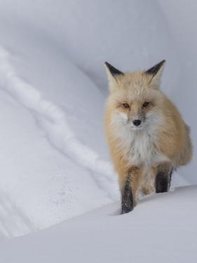 Usa, Wyoming, Yellowstone National Park. Red Fox. by Merrill Images