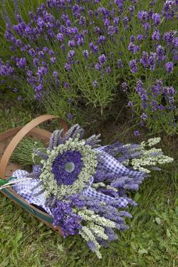 Wrapped Bouquets of Dried Lavender at Lavender Festival, Sequim, Washington, USA by Merrill Images