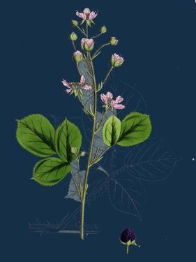 Mespilus Germanica; Wild Medlar